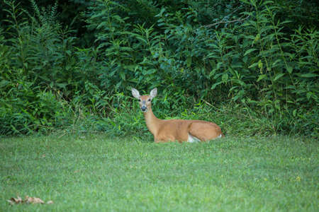 A deer rests in the grass next to the forest in summertime while looking at you Stock Photo