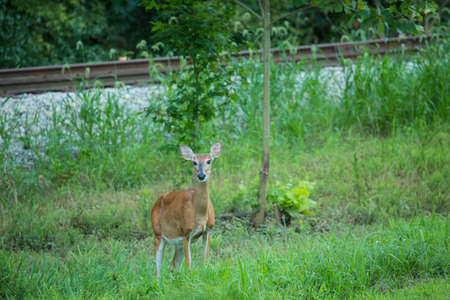 A female deer doe in the summer standing in the grass