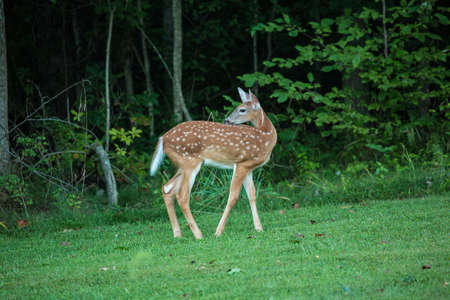 A baby deer doe in the grass and forest in summertime Stock Photo