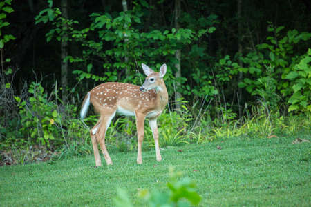 A baby doe deer is standing in the forest in summer Stock Photo
