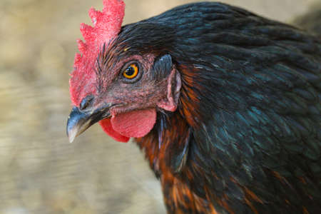 Close up of mean looking chicken hen