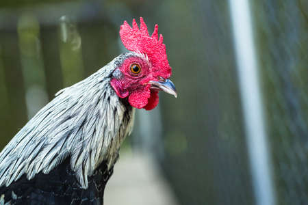 Chicken rooster farm animal in coop close up Stock Photo