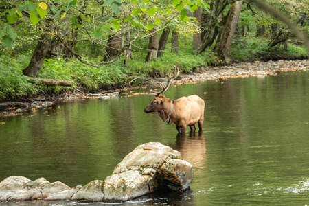 A male bull Elk hangs out in Oconaluftee River in Great Smoky Mountains National Park during rut