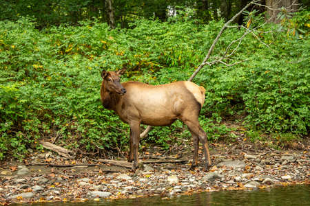 A female Elk poses next to Oconaluftee River in Smoky Mountains National Park