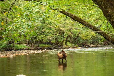 Female Elk posing in Oconaluftee River in Smoky Mountains National Park Imagens