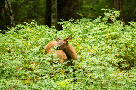 A female Elk stops to smell the flowers in Smoky Mountains National Park