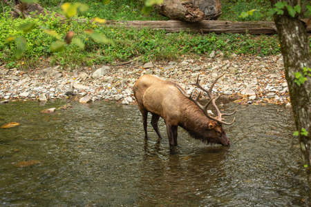 A male Elk stops for a drink in the Oconaluftee River in Smoky Mountains National Park Imagens