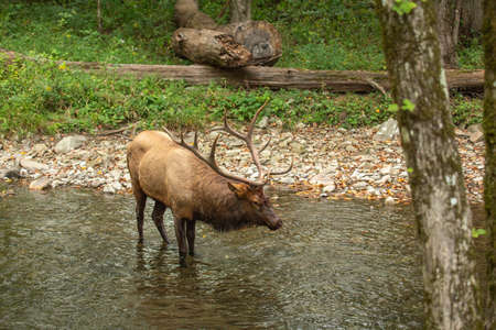 A male Elk swimming in The Oconaluftee River in Smoky Mountains