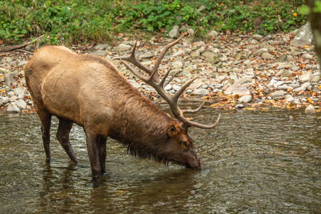 A male Elk is having a drink in The Oconaluftee River in Smoky Mountains National Park Imagens