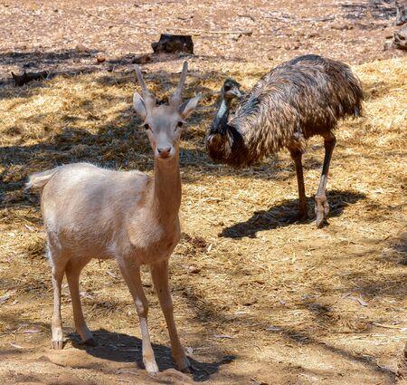 Deer and Emu Animal