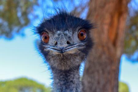 Emu Close Up Stock Photo