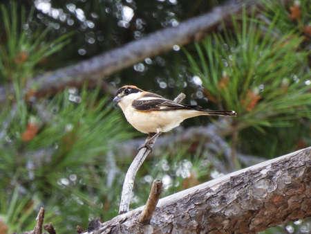 The Common Shrike (Senator Lanius)