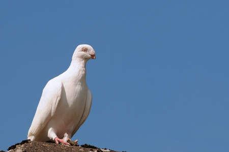 toiture maison: Blanche colombe sur le toit de la maison
