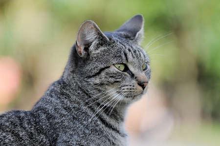 gray tabby: Head of a gray tabby cat
