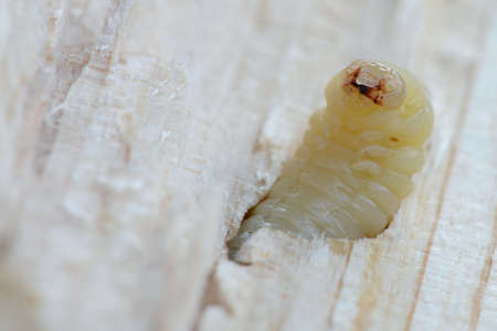 harm: Woodworm in the piece of wood