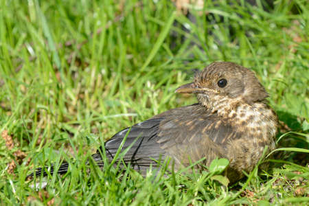Young blackbird sitting in the grass photo