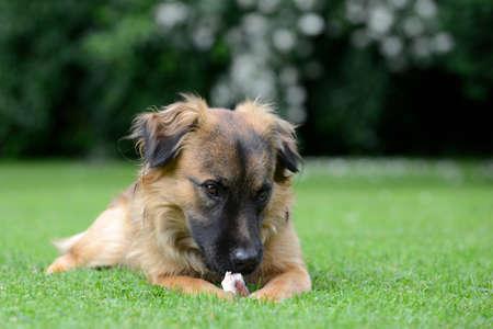 perro comiendo: Perro come huesos en la pradera
