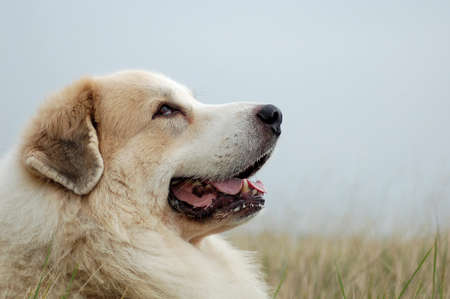 pyrenean mountain dog: Great pyrenees
