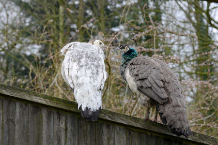peahen: Two Peafowl