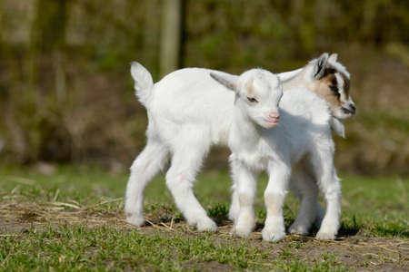 hircus: two standing goat kid Stock Photo