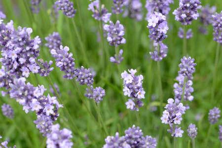 lavandula angustifolia: Blue lavender in the garden