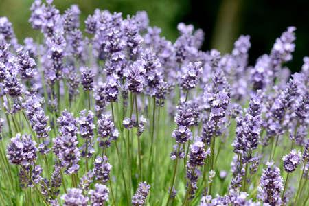 lavandula angustifolia: lavender Stock Photo