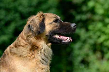 half breed: head of a brown dog in the nature