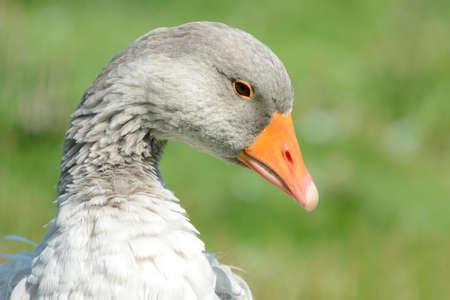 frizz: Goose close up