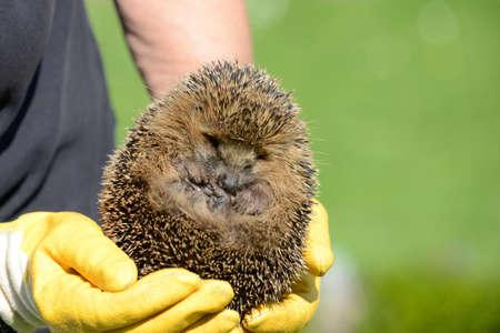 fixed: Hands holding hedgehog fixed Stock Photo