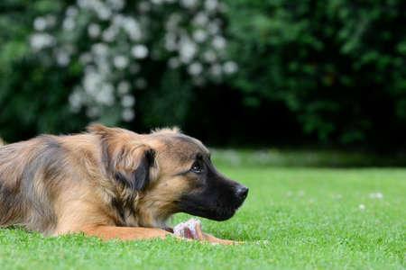 masticate: Dog eat bone Stock Photo