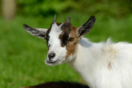 hircus: goat
