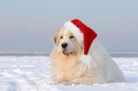 Great pyrenees lying in the snow photo
