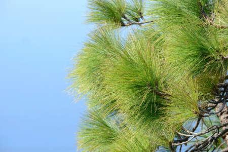 canarian: Canarian pinetree