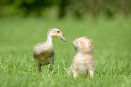 ducklings: Kitten and duck