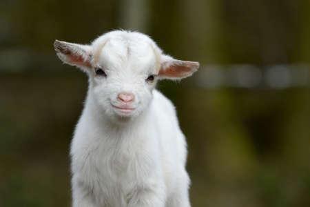 goat head: Goat close up