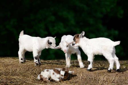 baby goat: Goat kids Stock Photo