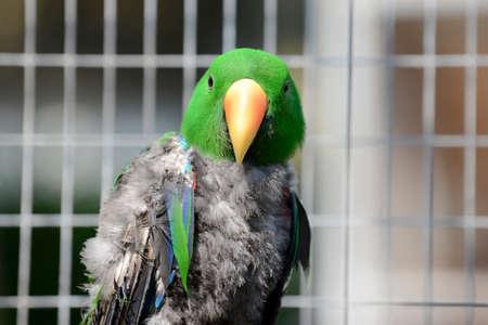eclectus roratus: Parrot