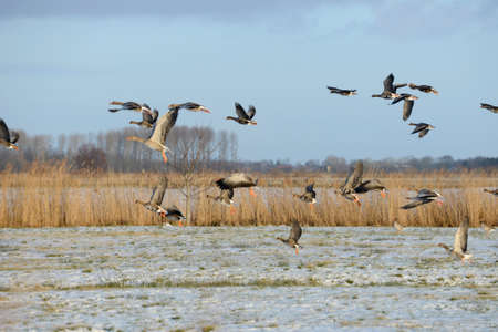 white fronted goose: Gray goose Stock Photo