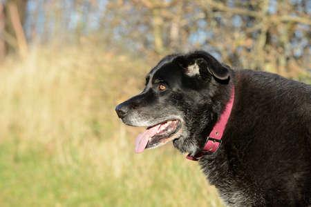half breed: old black dog
