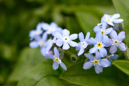 forget me not: blue forget me not in the nature Stock Photo