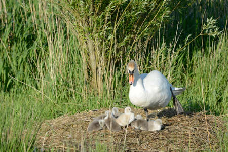 ducklings: swan with ducklings in the nest Stock Photo