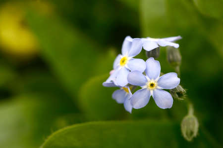 forget: blue forget me not im the nature
