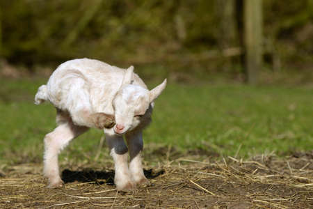 hircus: a white goat kid scratching on the head Stock Photo