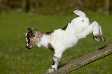 hircus: a white goat kids climb
