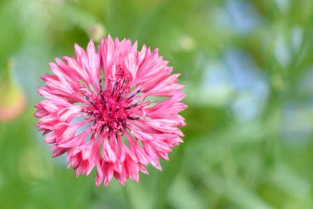 fiordaliso: fiordaliso nel campo di fiori Archivio Fotografico