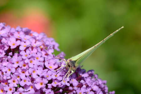 gonepteryx rhamni: Butterfly on purple flower brimstone Stock Photo