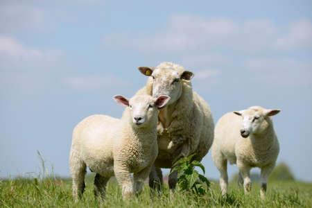 ovejas bebes: Ovejas que se colocan en la pradera