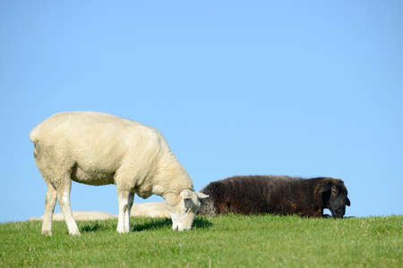 oveja negra: ovejas negro y ovejas blancas