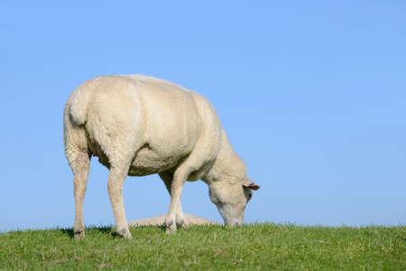 dike: sheep on the dike Stock Photo