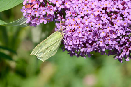gonepteryx rhamni: Yellow Butterfly on flower